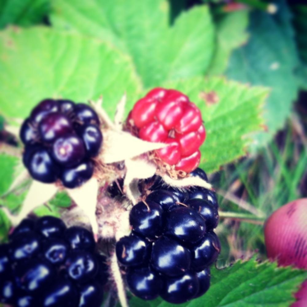 wild blackberries - yum!